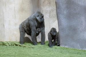 gorilla-dna