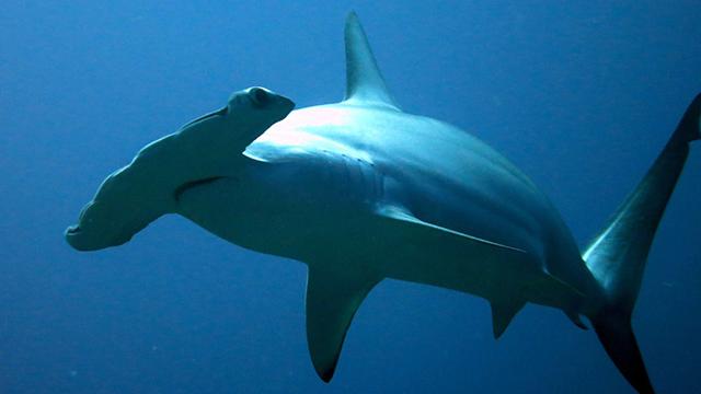 A hammerhead shark